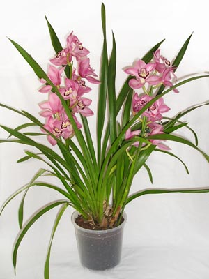 Cymbidium orchid care requires careful attention to temperature changes throughout the year