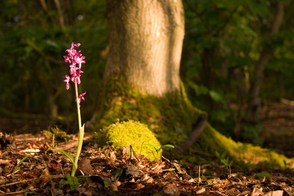The Early Purple Orchid, Orchis mascula, is a common species with a wide distribution, from North Africa, the Middle East, and up throughout Europe