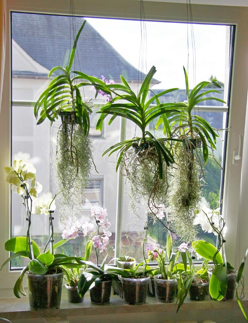 Care for orchids indoors is easy if you have good light, good root ventilation, and don