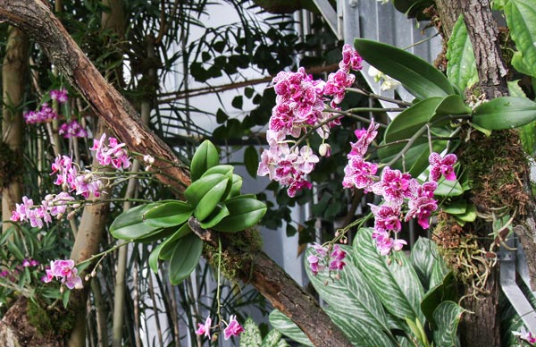 Care for orchids indoors doesn't have to involve pots. Phalaenopsis orchids growing epiphytically at Leipzig University botanical garden