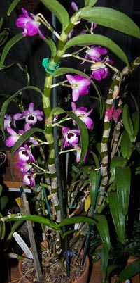 Dendrobium Orchid Care Orchids Care Info